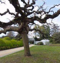Pohon sophora japonica