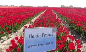 Wisata Belanda bunga tulip Zijpe 4