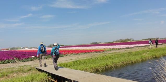 Wisata Belanda Tulip Zijpe