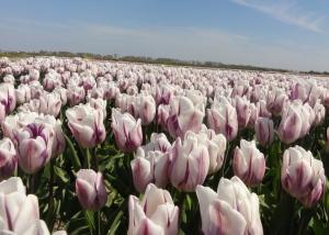 Wisata Belanda bunga tulip Zijpe 7
