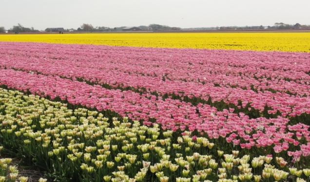 Wisata Belanda Bunga Tulip Zijpe 2017