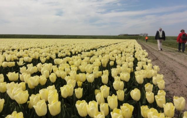 Wisata Belanda bunga tulip Zijpe 2017 5